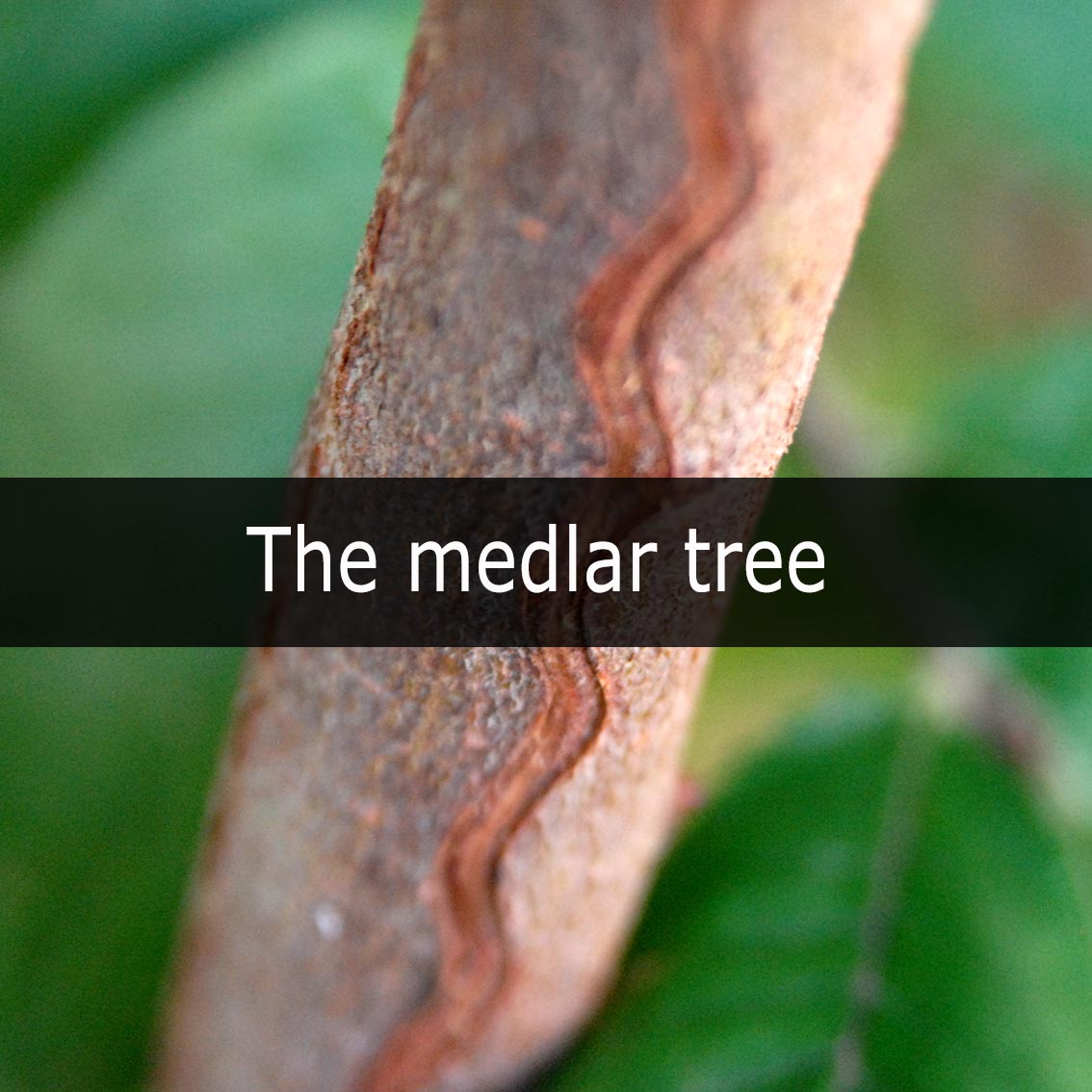 the-medlar-tree